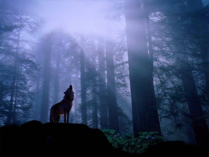 Warming_Up_for_the_Nights_Howl_Gray_Wolf-1024x768